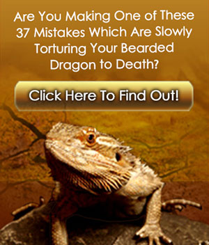 Bearded Dragons - Bearded Dragon Care